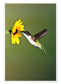 Plakat  Ruby-throated Hummingbird at sunflower - Larry Ditto