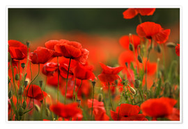 Plakat Red Poppy Flowers 14
