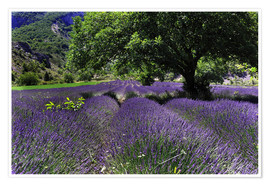 Plakat Lavender field with tree