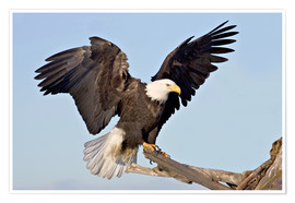 Plakat  Eagle with outstretched wings - Charles Sleicher