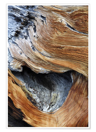 Plakat  Trunk of an old pine - Dennis Flaherty