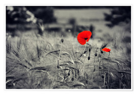Plakat Red poppies in a cornfield