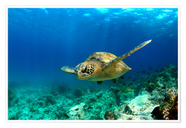 Plakat  Green sea turtle under water - Paul Kennedy