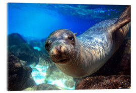 Obraz na szkle akrylowym  Sea lion underwater portrait - Paul Kennedy