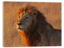 Obraz na drewnie  Lion in the evening light - Africa wildlife - wiw