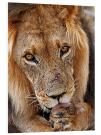 Obraz na PCV  View of the lion - Africa wildlife - wiw