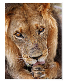 Plakat View of the lion - Africa wildlife