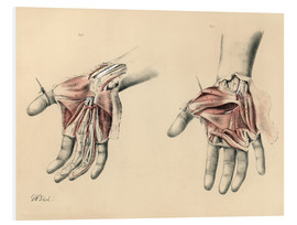 Obraz na PCV  Upper limbs. Superficial and deep views of the palm - G. H. Ford