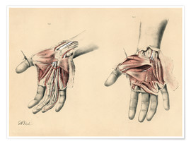 Plakat  Upper limbs. Superficial and deep views of the palm - G. H. Ford