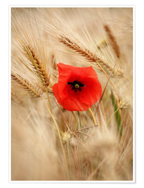 Plakat Red poppy in wheat field 2