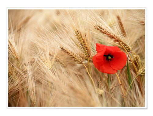 Plakat Red poppy in wheat field