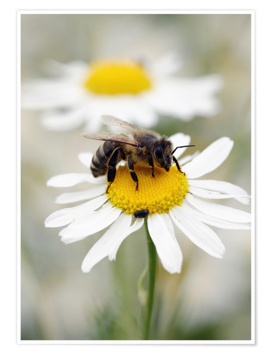 Plakat Bee on the camomile lawn