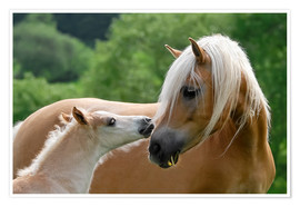 Plakat Haflinger horses foal with mare