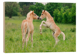 Obraz na drewnie  Haflinger foals playing and rearing - Katho Menden