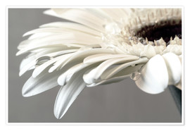 Plakat  White Gerbera with drops - Susanne Herppich