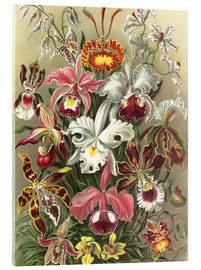 Obraz na szkle akrylowym  Orchids, artistic forms of nature, graphic 74 - Ernst Haeckel
