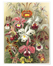 Plakat  Orchids, artistic forms of nature, graphic 74 - Ernst Haeckel