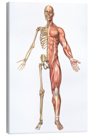 Obraz na płótnie  The human skeleton and muscular system, front view