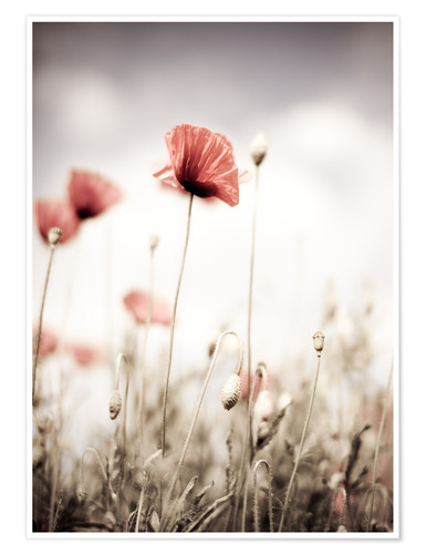 Plakat Red Poppy Flowers