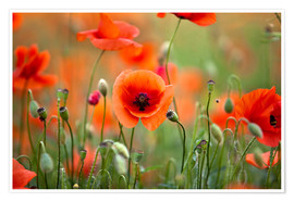 Plakat Poppies 21