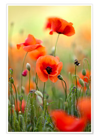 Plakat Poppies