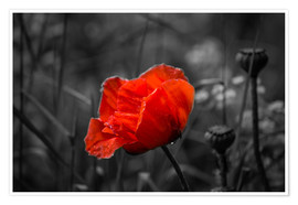 Plakat Red poppy on black and white background