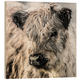 Obraz na drewnie  Galloway calf - Christian Krammer