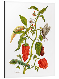 Obraz na aluminium  Peppers and insects - Maria Sibylla Merian