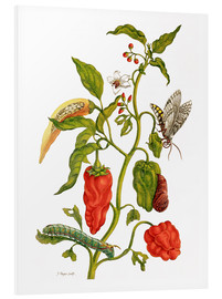 Obraz na PCV  Peppers and insects - Maria Sibylla Merian