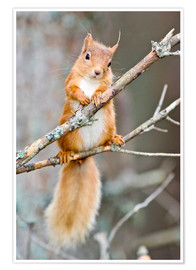 Plakat Red squirrel on a branch