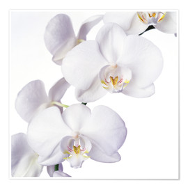 Plakat  Orchid flowers - Johnny Greig