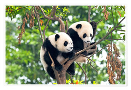 Plakat Young Pandas in a tree