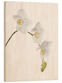 Obraz na drewnie  Orchid flowers (family Orchidaceae) - GAVIN KINGCOME