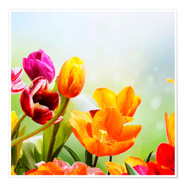 Plakat Tulips with Water Drops