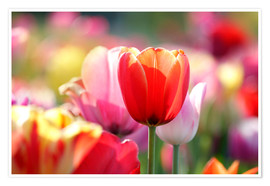Plakat Beautiful colorful Tulips