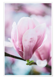 Plakat  Closeup of blossoming magnolia in spring - Peter Wey