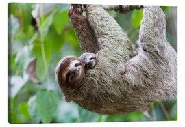 Obraz na płótnie  Brown-throated Sloth and her baby - Jim Goldstein