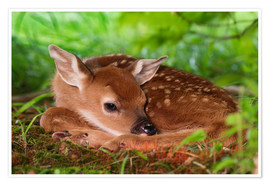 Plakat Fawn in the grass