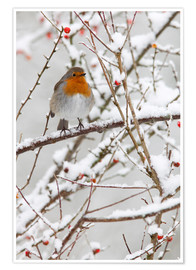 Plakat Robin, with berries in snow