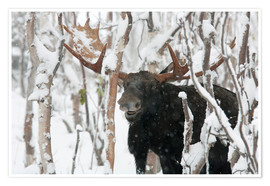 Plakat  Elk sniffing in a winter forest - Philippe Henry