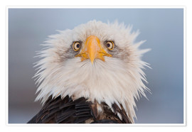 Plakat Young Bald Eagle