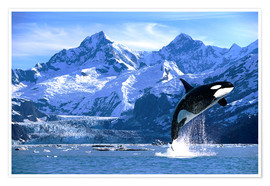 Plakat  Orca in front of a glacier - John Hyde
