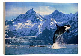 Obraz na drewnie  Orca in front of a glacier - John Hyde