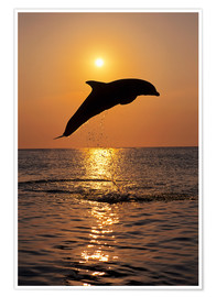 Plakat Dolphin in the sunset