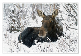 Plakat  Cow elk in a winter forest - Philippe Henry