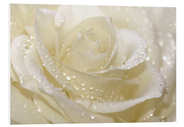 Obraz na PCV  White rose with drops - Atteloi