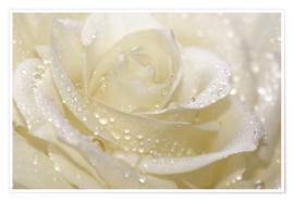Plakat  White rose with drops - Atteloi