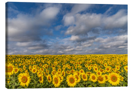 Obraz na płótnie  Sea of Sunflowers - Achim Thomae