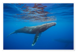 Plakat Humpback whale under water