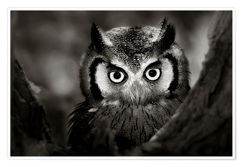 Plakat White-faced Owl perched in a tree